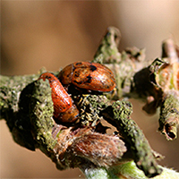 42. Gonioctena leaf beetle on Sorbus (photo-copyright: Patrick Mardulyn)