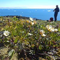 48. Tundra plants are often only a few centimeters tall – Dryas integrifolia growing on Disko Island, western Greenland (photo-copyright: Normand-Treier)