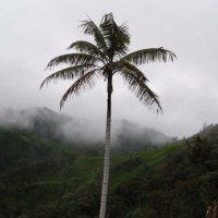 6. Ceroxylon echinulatum (Arecaceae) in the Andes (Photo-copyright: Philipp Trénel)
