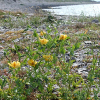 1. Glaucium flavum: a species that might be positively affected by future climate warming
