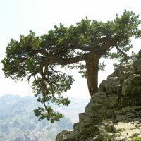Pinus nigra subsp. laricio on Corisca (Photo-copyright: Normand-Treier)