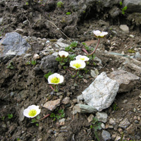 18. Ranunculus glacialis (Photo-copyright: Normand-Treier)